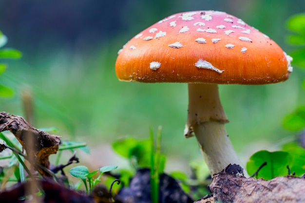 Red fly agaric mushroom or toadstool in the grass. fairy tale colourful image. toxic mushroom. white-dotted red mushroom