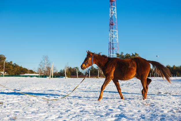 太陽の下で冬の畑で銃口に白い星と赤い子馬。