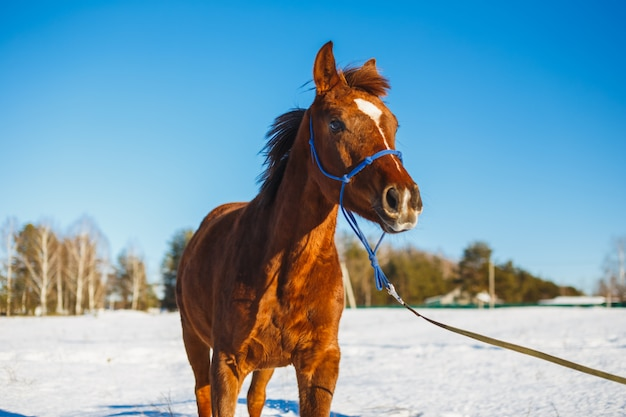Red foal with a white star on the muzzle in a winter field in the sun.