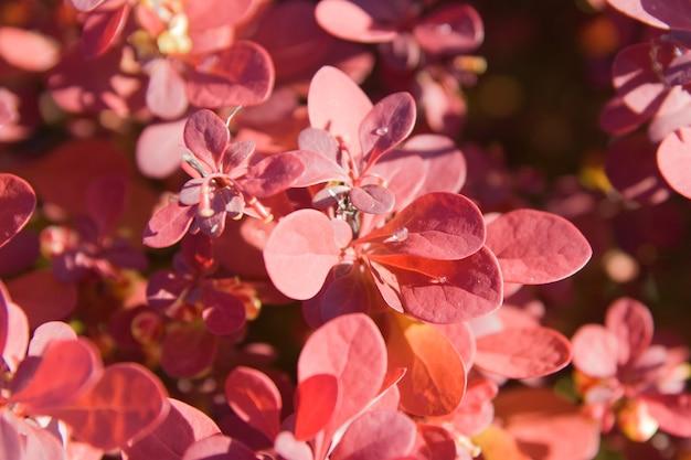 Красная листва барбариса крупным планом с каплями воды в утреннем свете