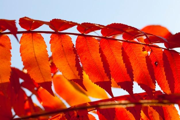 가을 시즌에 나무의 붉은 단풍, 잎의 세부 사항