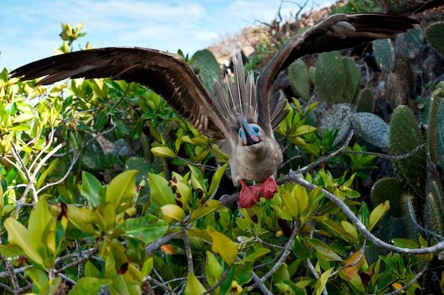 Red-footed booby (sula sula) about to take off, darwin bay, genovesa island, galapagos islands, ecuador