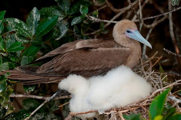 Red-footed booby (sula sula) with its chick, darwin bay, genovesa island, galapagos islands, ecuador