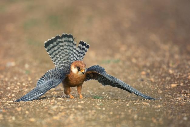 赤い足のファルコンは地面に立って、広げた翼の狩猟をします