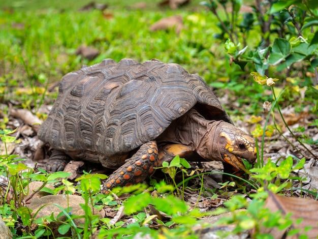 공원에서 녹색과 보라색 풀을 먹는 붉은발 거북이
