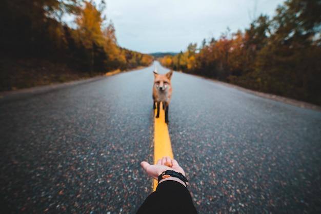 Красная лиса одна на асфальтовой улице