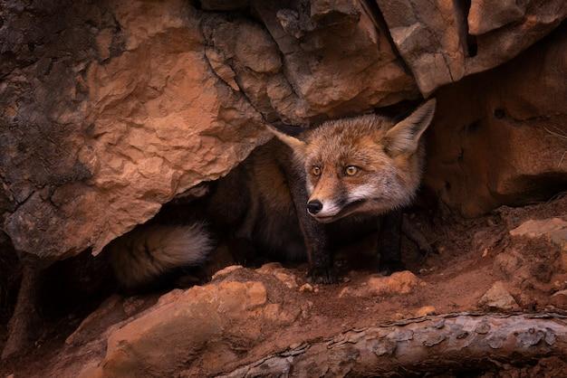 Red fox среди скал в дикой природе. красивый портрет red fox в диком лесу.