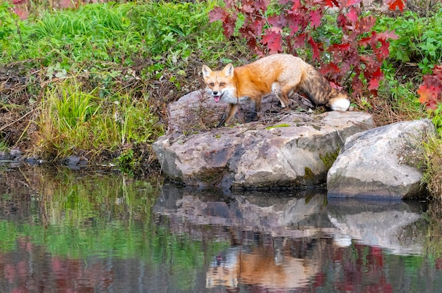 Red fox in autumn with reflection in water