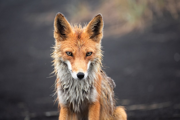 Red fox close up. portrait of a fox in kamchatka