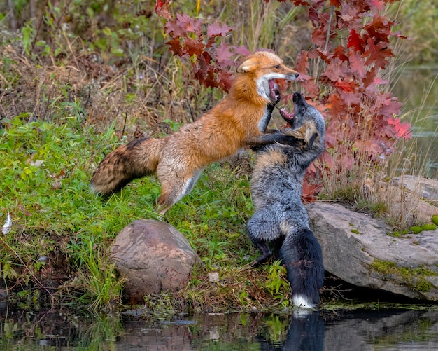 Red fox and cross fox fighting near shoreline