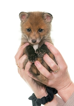 Red fox cub in hands