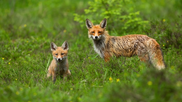 Детеныш красной лисы сидит на зеленом лугу со взрослыми, стоящими за ним в весеннее время