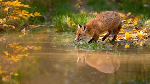 カラフルな秋の自然の中で水から飲む赤狐