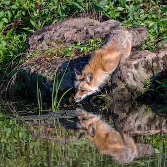 Red fox питьевая вода из пруда