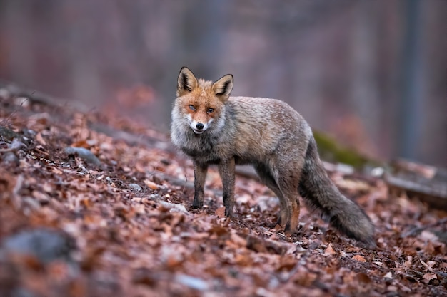 Red fox in the forest covered by dry leaves