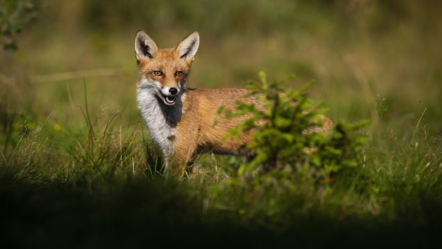 Рыжая лисица летом прячется за маленьким зеленым деревцем на поляне. дикое млекопитающее с оранжевым мехом выглядывает из-за ели, освещенной утренним солнечным светом. охота на животных-хищников.