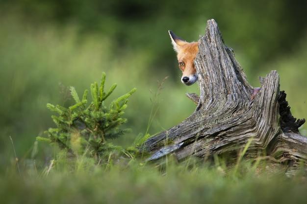 Рыжая лиса прячется за стволом в весенней природе.