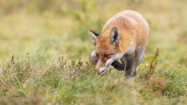 Red fox hunting on a green meadow and sniffing with head down above ground