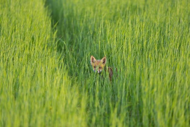 젊은 밀의 분야에서 붉은 여우