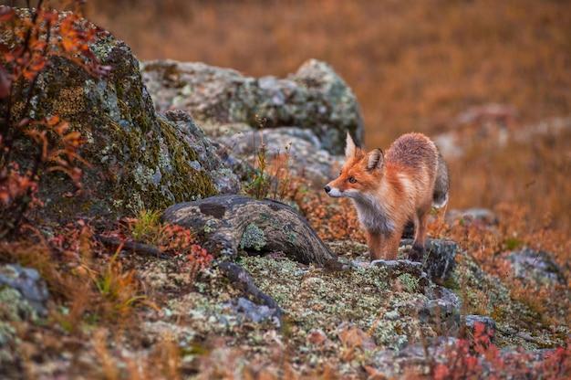 Красная лиса осенью