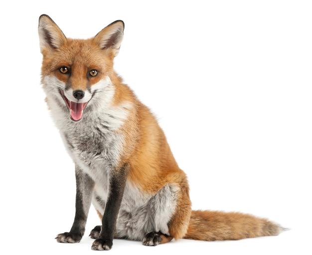 Red fox, изолированные на белом