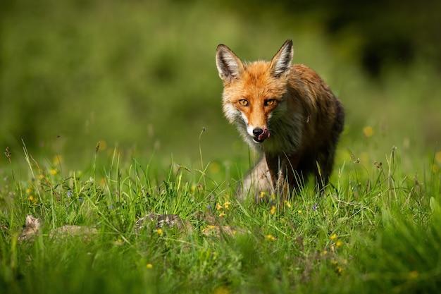 Рыжая лисица лижет пасть на яркой поляне в летнем солнечном свете