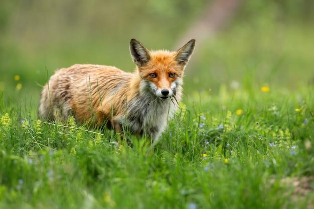 Рыжая лиса, глядя на солнечный луг с зеленой травой в летней природе.