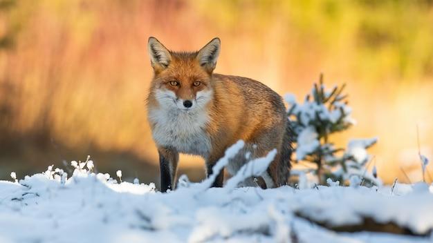 Рыжая лиса смотрит на снег в зимней природе
