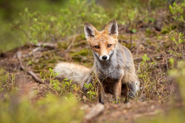 Red fox looking through green vegetation