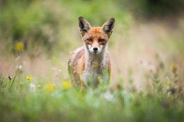 Рыжая лиса смотрит в камеру на цветущем лугу летом