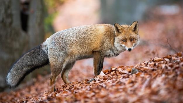Рыжая лиса смотрит в камеру на листьях в осенней природе.