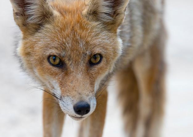 赤狐はカメラ、ポートレートを見ます。