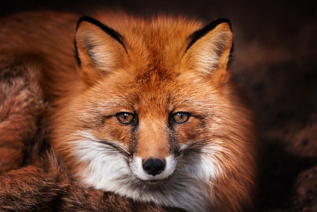 Red fox looks at the camera. portrait.