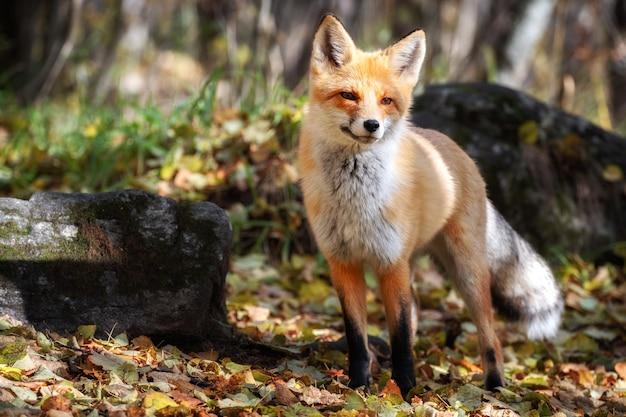 Рыжая лиса корчит рожи в высокой траве в солнечный день.