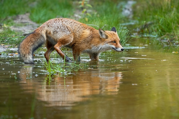 Red fox sneaking around in swamp in summertime nature