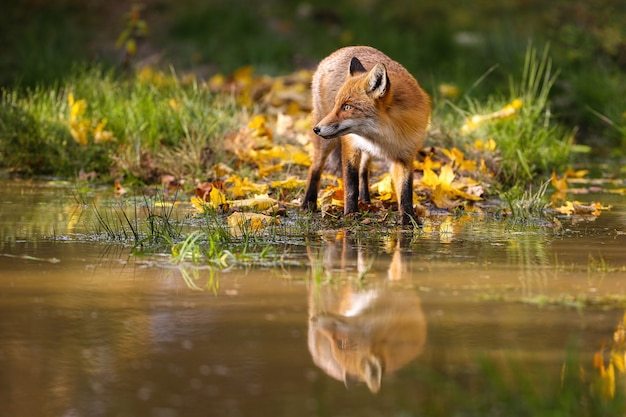 Рыжая лиса, стоя у воды в красочной осенней природе.