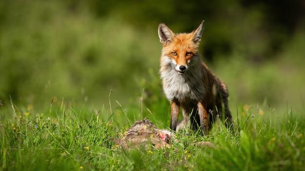 Рыжая лиса стоит рядом с мертвой косулей на лугу