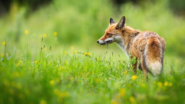 Рыжая лиса стоит на цветущем лугу летом