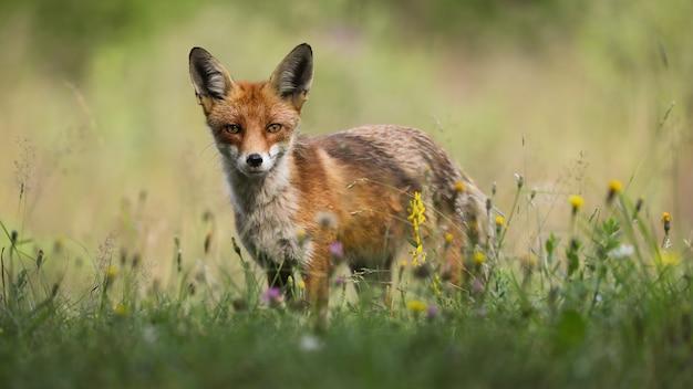 Рыжая лиса стоит на цветущем пастбище в летнем солнечном свете
