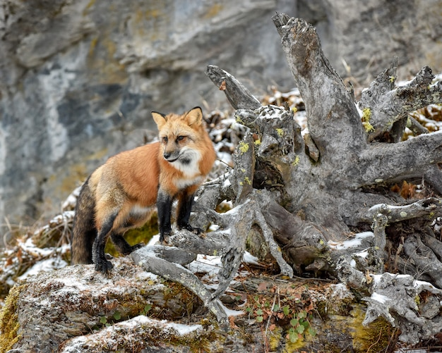 Red fox standing next to roots of a fallen tree