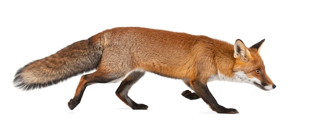 Red fox, vulpes vulpes, 4 years old, walking against white surface