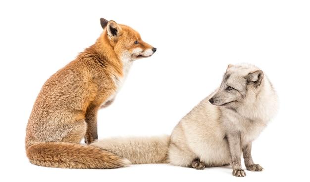 レッドフォックスホンドギツネキツネ属と北極キツネキツネキツネ属座っている白で隔離