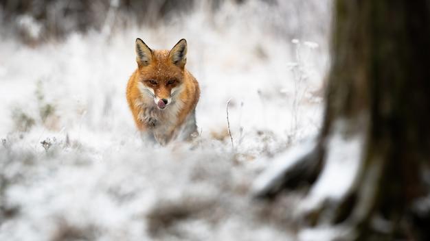 アカギツネ、vulpes vulpes、冬の自然の中で森に近づいています。雪に覆われた森で前進するオレンジ色の捕食者。白い環境でなめる野生哺乳類。
