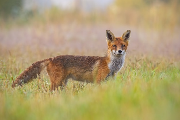 Red fox, vulpes vulpes, early in the morning