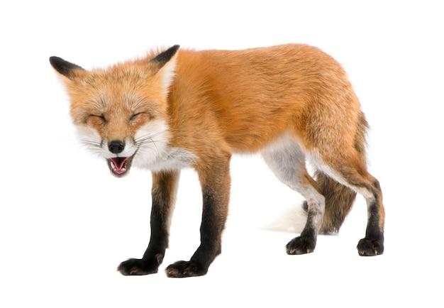 赤狐、ホンドギツネキツネ属、白で隔離