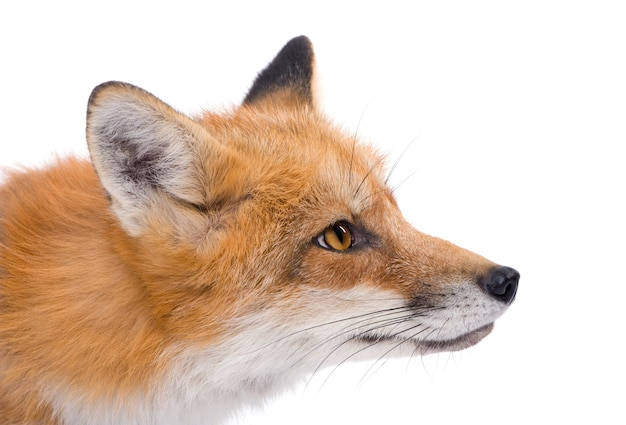 Red fox, vulpes vulpes, isolated on white