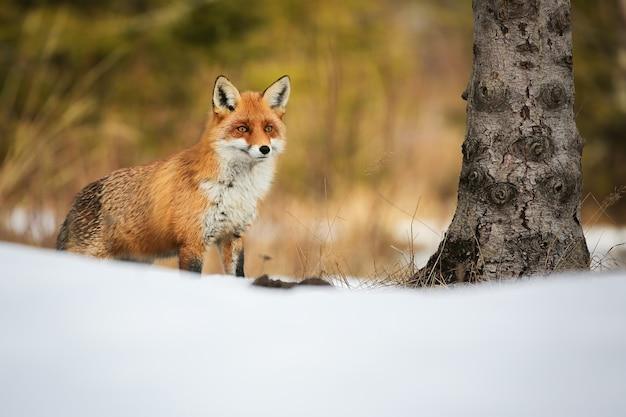 冬の自然の中で雪に覆われた森に立っている赤狐、vulpes vulpes