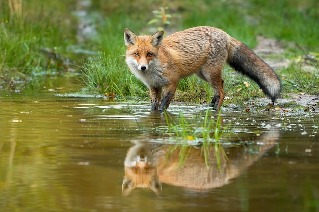 Red fox wading in water with reflection in summer nature