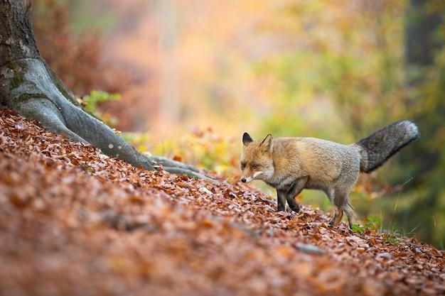 Рыжая лиса гуляет в лиственном лесу в осенней природе