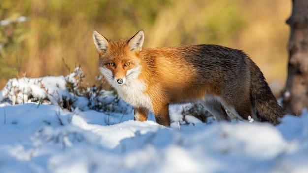 Рыжая лиса смотрит на белый снег в зимней природе